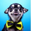 Cutest Chihuahua with a Bow Tie