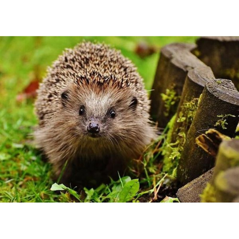 Adorable Hedgehog Di...