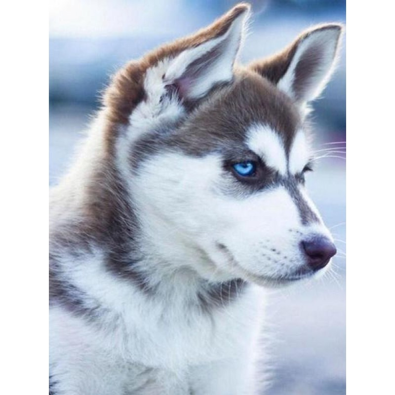 Adorable Husky with ...