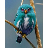 Blue Owl of Madagascar